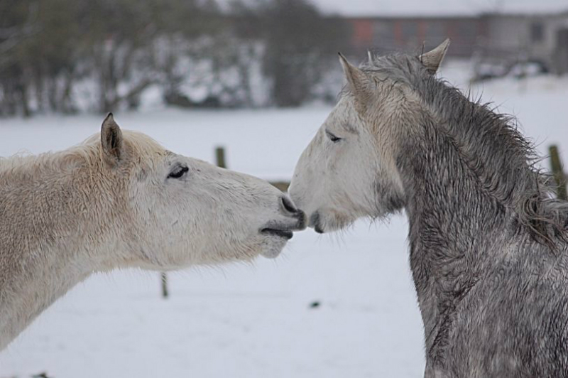 paarden-in-de-winter-2