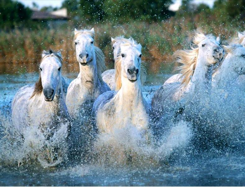 paarden-in-het-water