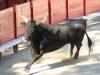De stier heeft, behalve beweging, niets te vrezen