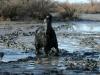 Camarguepaard in (onder!) de modder