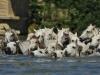 Camarguepaarden in het wild
