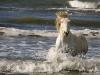 Camarguepaard in het water