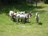 Eénjarige Camarguepaarden